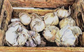 Colour sketch garlic
